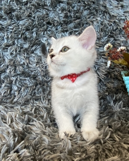 Silver Shaded Onyx British Shorthair Yavrumuz